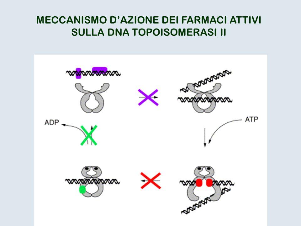 MECCANISMO D'AZIONE DEI FARMACI ATTIVI SULLA DNA TOPOISOMERASI II