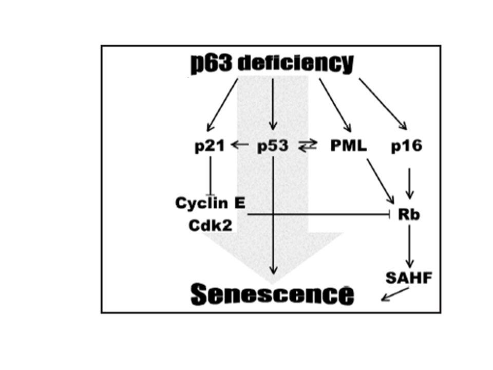 Figure 1. p63 deficiency induces cellular senescence