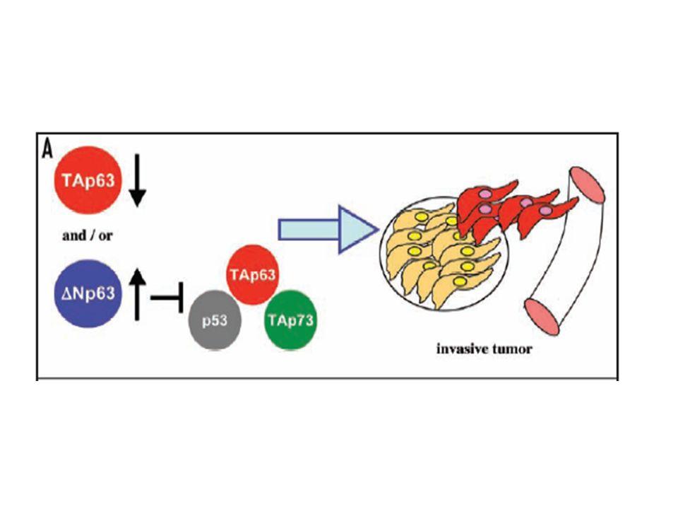 Figure 3. Model for p63 as a tumor suppressor