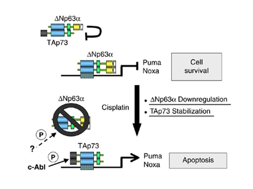 p63/p73 pathway mediates cisplatin sensitivity in squamous carcinoma cells.