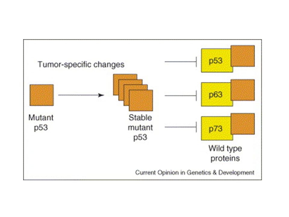 Figure 1. Mutant p53 is stabilized by unknown mechanisms in tumors