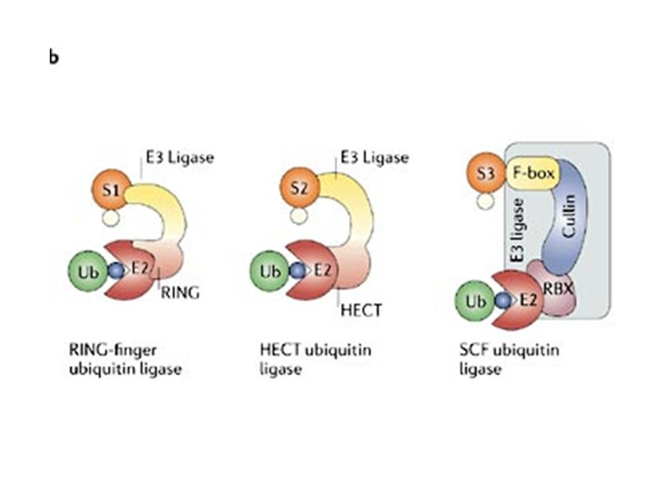 b | Classes of ubiquitin ligases: single RING-finger E3s; HECT E3s; and multi-subunit RING-finger E3s, exemplified by the SCF complexes.