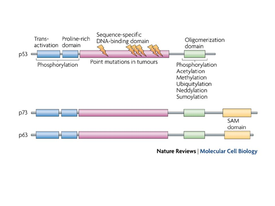The major functional domains of the p53 protein are shown, including the N-terminal transactivation domains, the central sequence-specific DNA-binding domain and the C-terminal regulatory domain. p53 is subject to numerous post-transcriptional modifications, including phosphorylation, acetylation, methylation and modification with ubiquitin-like proteins, that can affect the function and stability of p53. Phosphatases, de-acetylases and de-ubiquitylating enzymes have been identified that can reverse most of these modifications. Most of the point mutations found in naturally occurring cancers occur in the central DNA-binding domain, and the position of the hotspots for these mutations are indicated by the orange lightning bolts. The p53-related proteins p63 and p73 show a similar overall structure, although some isoforms of these p53 relatives also contain a C-terminal sterile -motif (SAM) domain. Multiple isoforms of each of these proteins have now been described16.