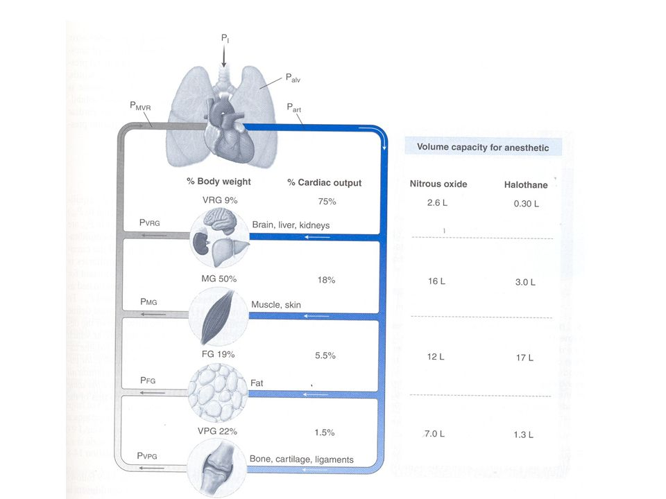 Distribuzione della gittata cardiaca e della capacità di volume per gli anestetici generali tra i principali compartimenti tessutali.
