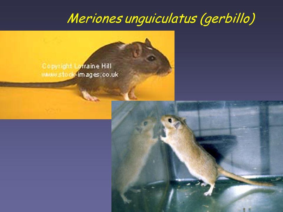 Meriones unguiculatus (gerbillo)