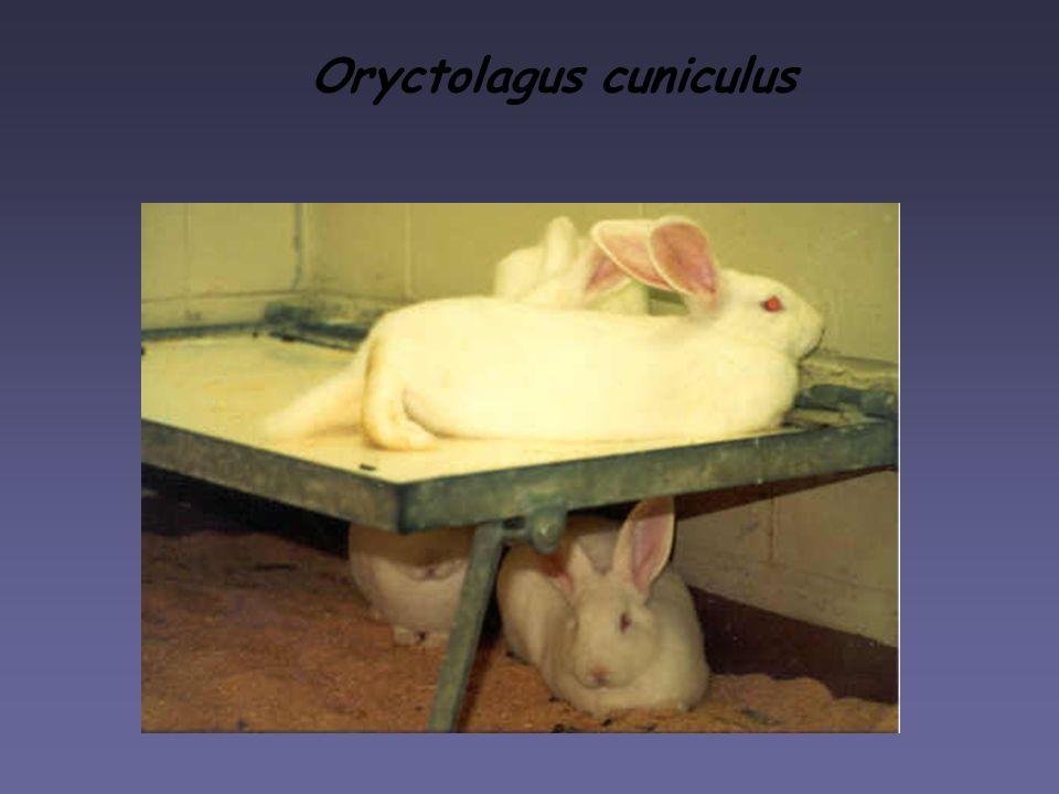 Oryctolagus cuniculus