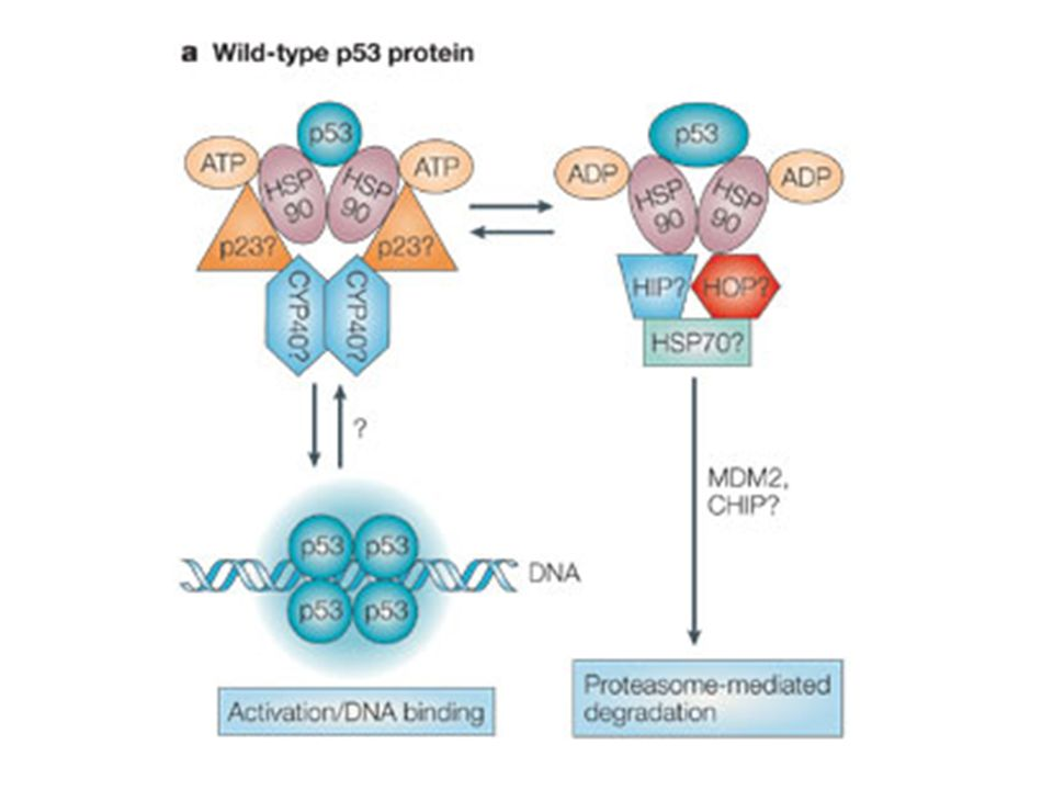 a | Wild-type p53 is held in dynamic equilibrium by transient association with HSP90 (heat-shock protein of 90 kDa)-containing complexes (presumably containing p23 and CYP40 (cyclophilin 40)) that maintain it in a conformation that can be activated for DNA binding.