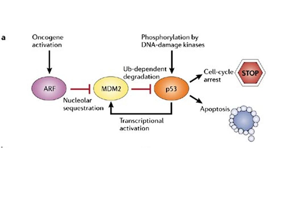 a | Simplified view of p53 signalling pathway