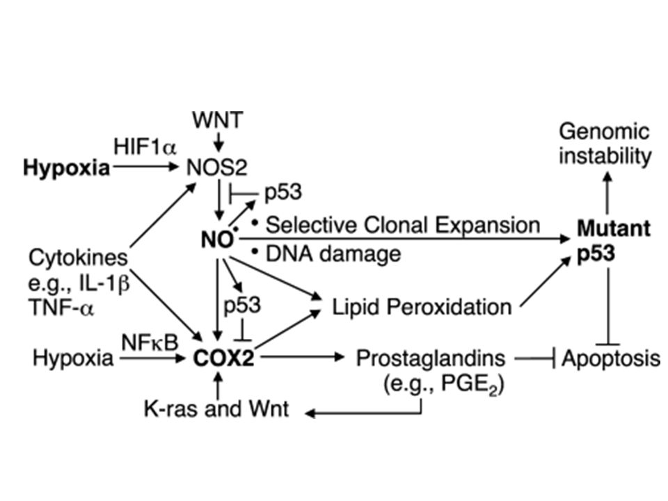 Figure 6. Both NOS2 and COX2 cooperate in colon carcinogenesis