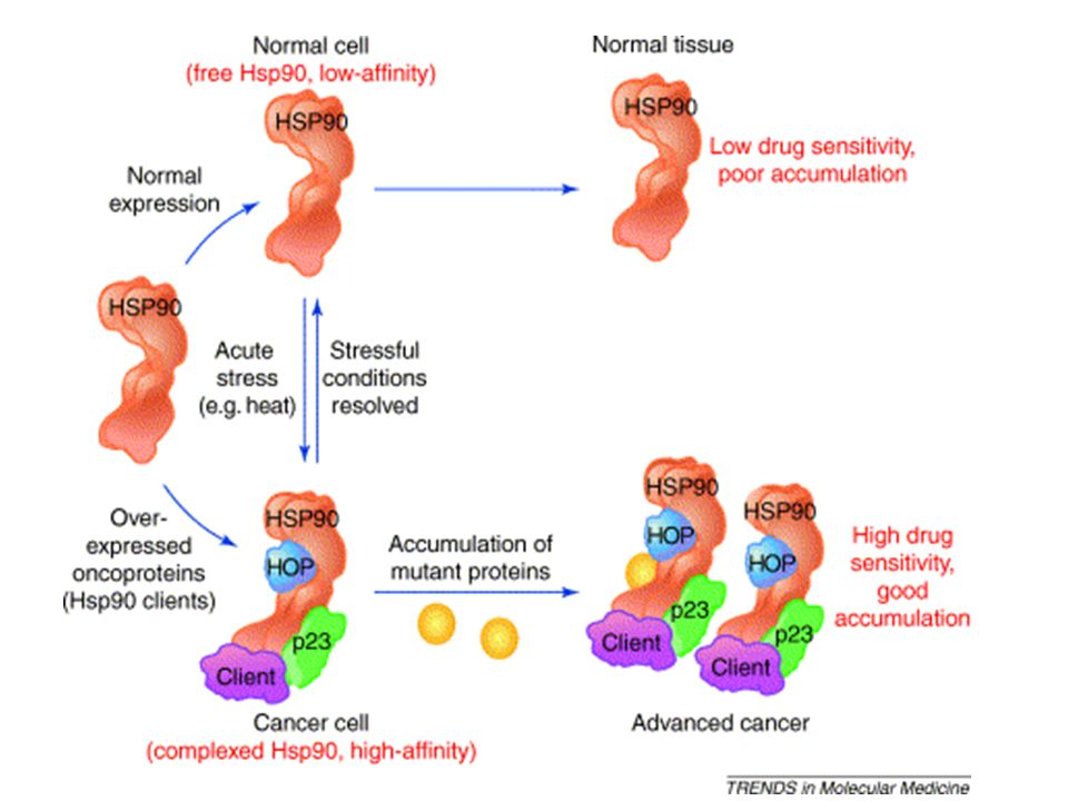 Model for tumor selectivity of Hsp90 inhibitors and Hsp90-dependent malignant progression.