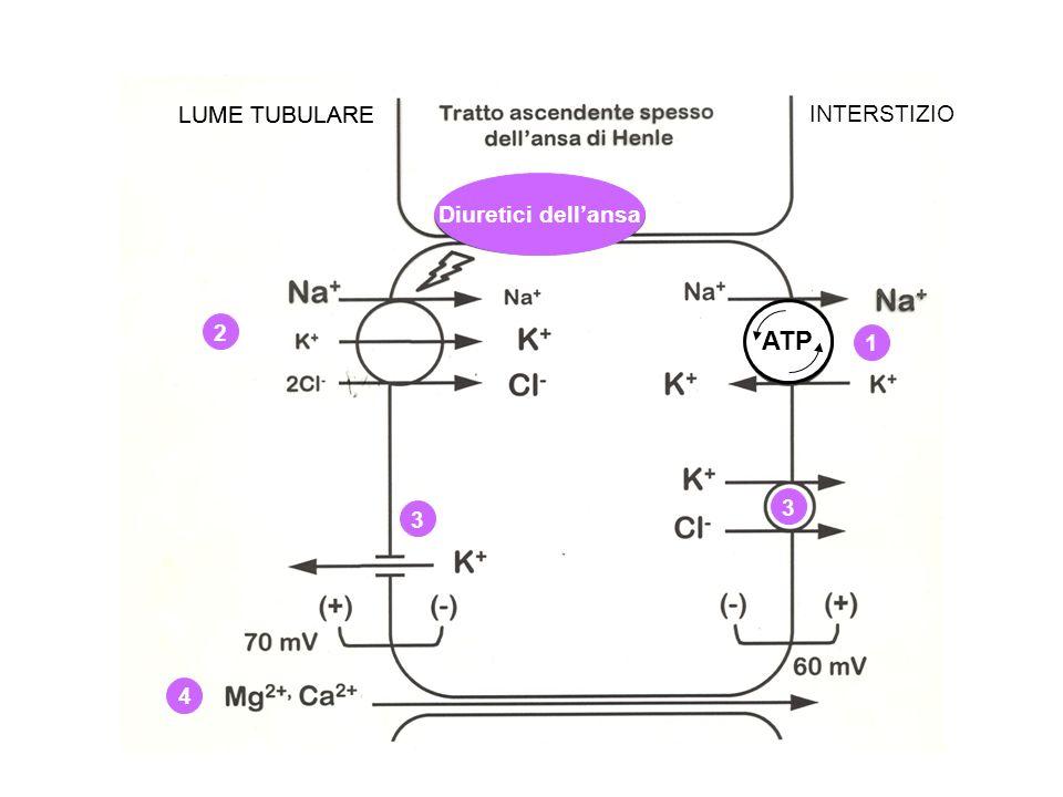 ATP LUME TUBULARE LUME TUBULARE INTERSTIZIO Diuretici dell'ansa 2 1 3