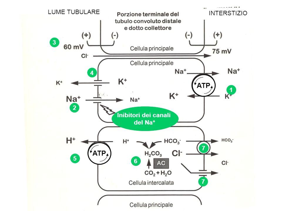 ATP ATP LUME TUBULARE INTERSTIZIO 3 4 1 2 Inibitori dei canali del Na+