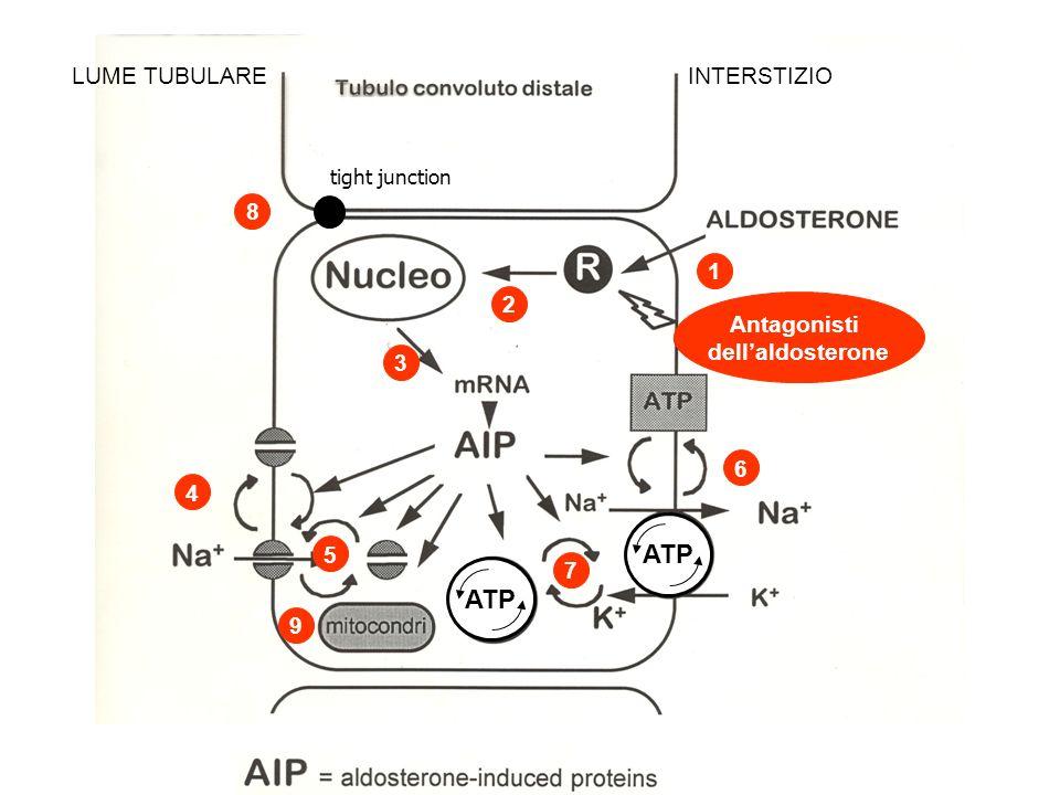 ATP ATP LUME TUBULARE INTERSTIZIO 8 1 2 Antagonisti dell'aldosterone 3