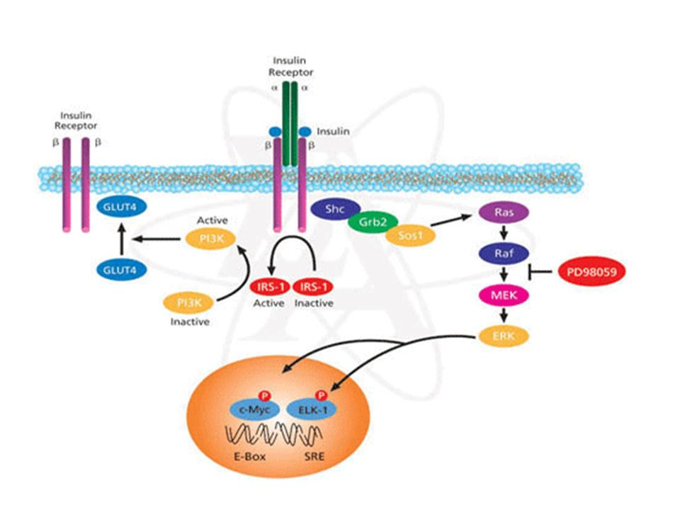 Intracellular signalling pathways of insulin action.