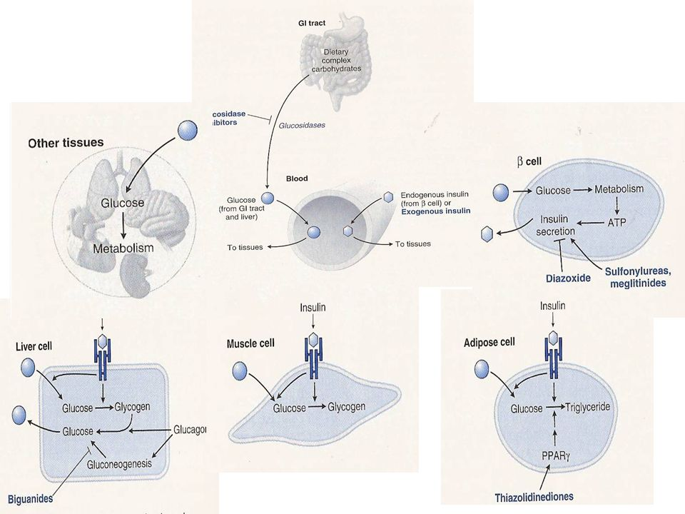 Physiologic and pharmacologic regulation of glucose homeostasis