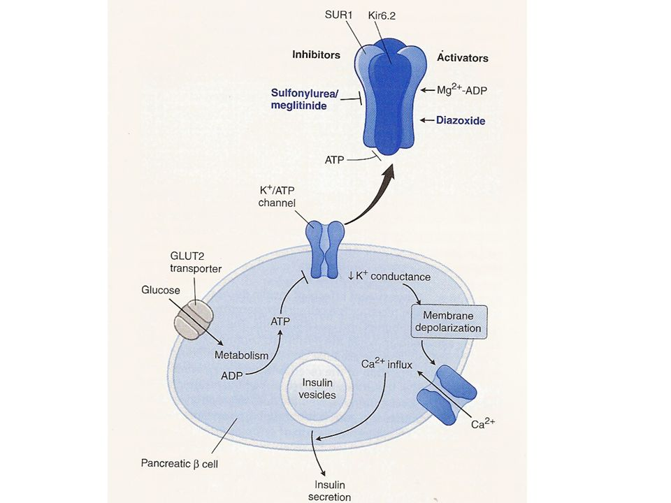 Physiologic and pharmacologic regulation of insulin release from pancreatic β cells.