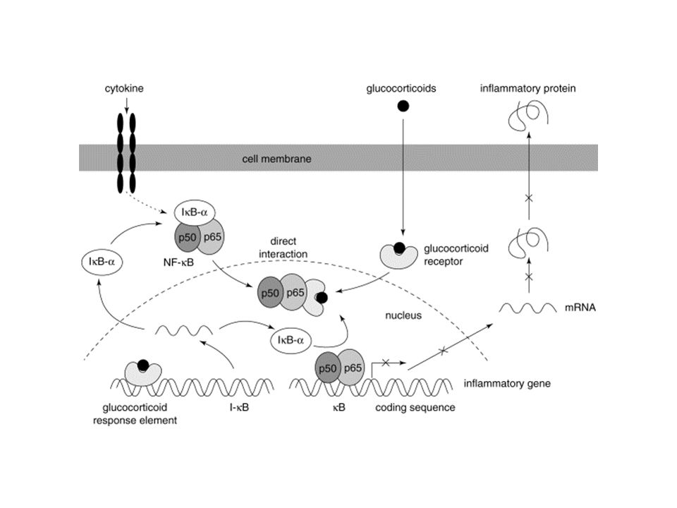 Fig. 3. Effects of glucocorticoids on nuclear factor- B (NF- B)