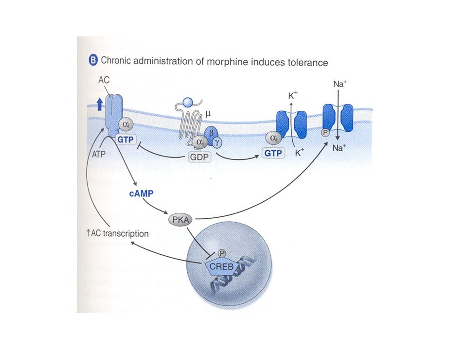 Induzione di tolleranza alla morfina: B