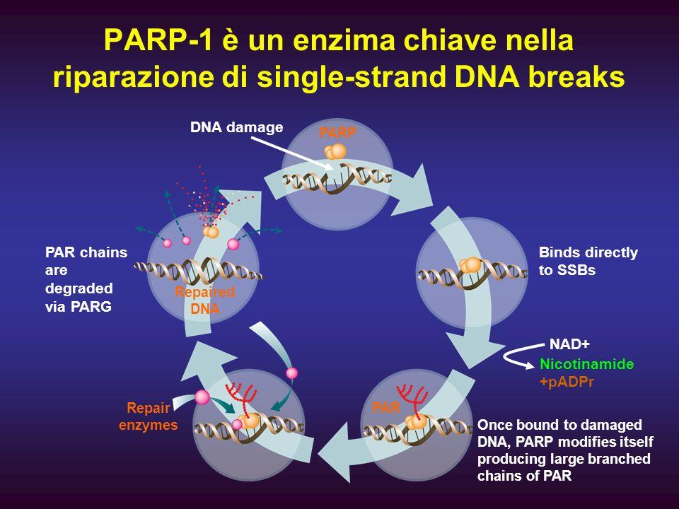 PARP-1 è un enzima chiave nella riparazione di single-strand DNA breaks