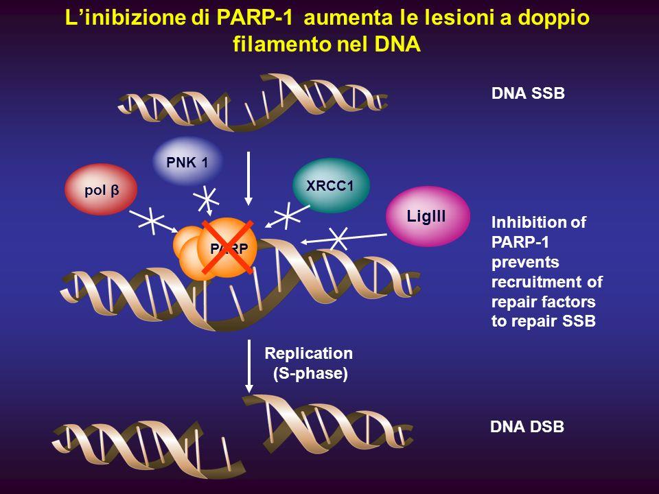 L'inibizione di PARP-1 aumenta le lesioni a doppio filamento nel DNA