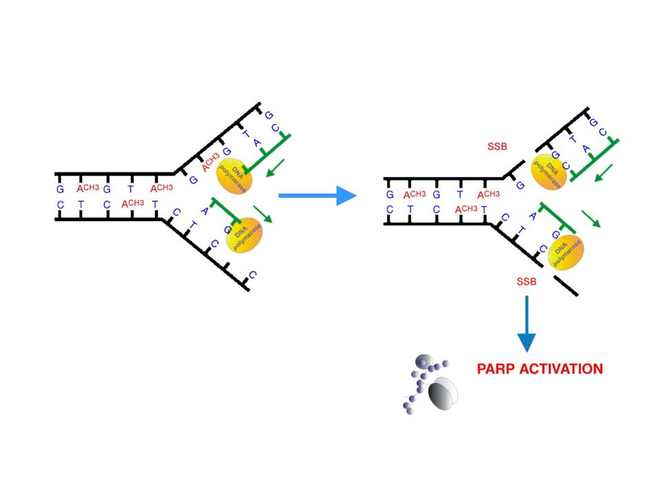 Fig. 3. Schematic drawing to explain PARP activation induced by N3-MeA