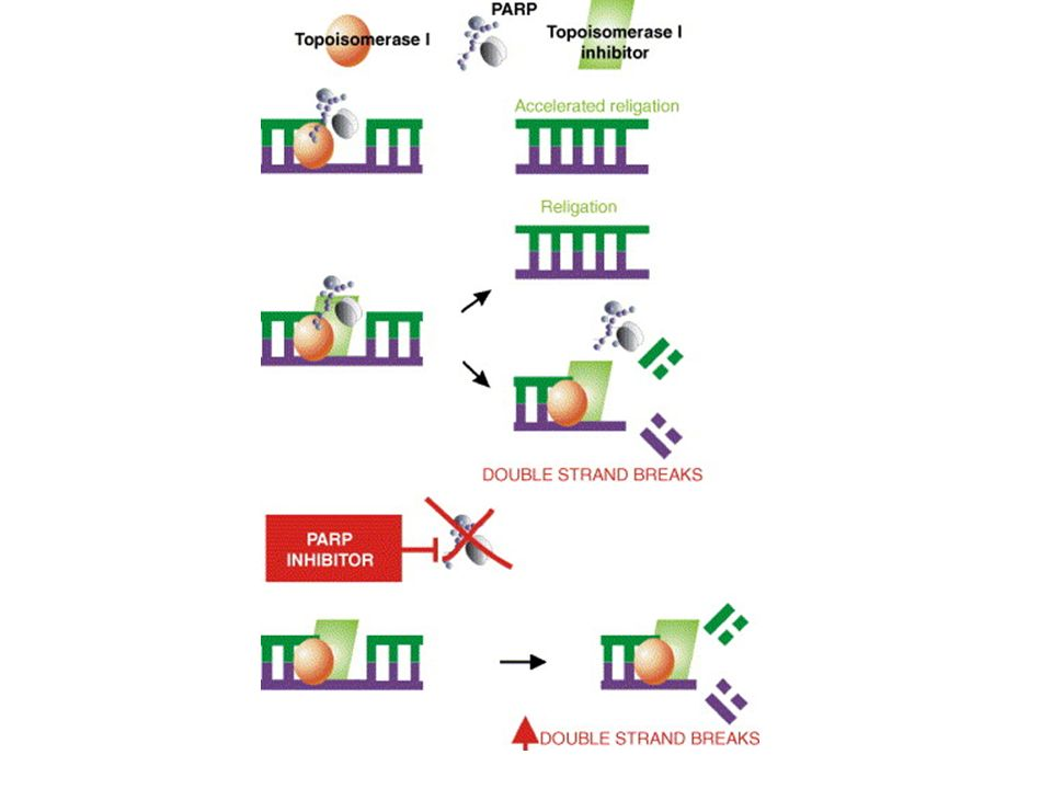 Fig. 4. PARP inhibition and sensitization to DNA damage induced by topoisomerase I poisons.