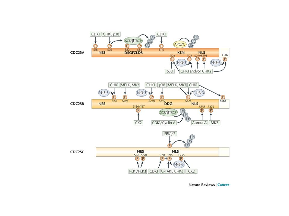 A schematic view of our current knowledge of the phosphorylation sites for cell division cycle 25 (CDC25) phosphatases.