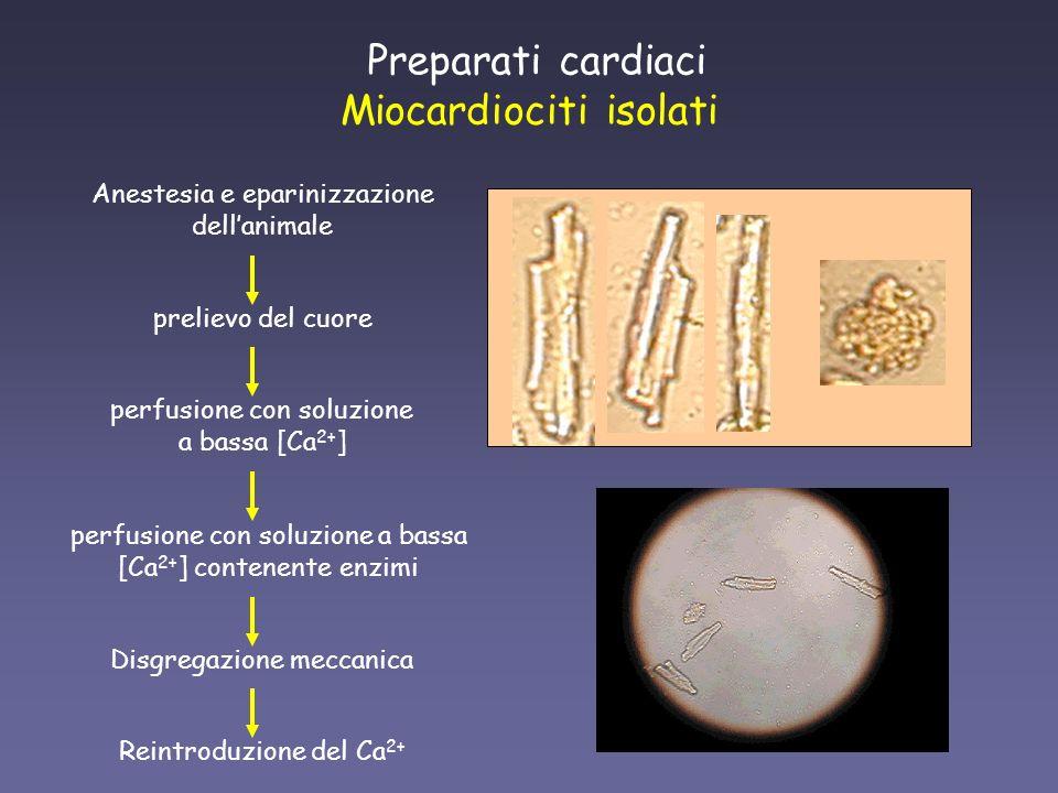Preparati cardiaci Miocardiociti isolati