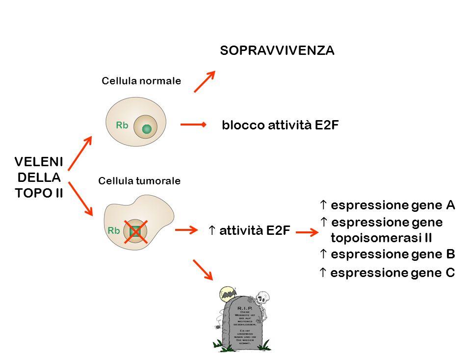  espressione gene topoisomerasi II