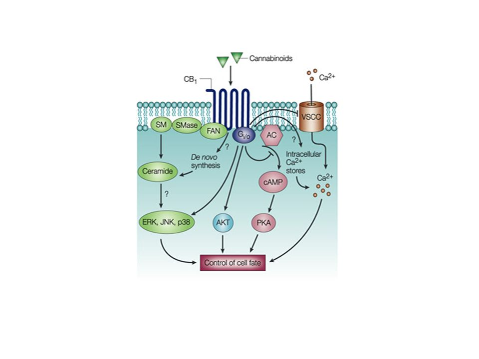 | Signalling pathways involved in the control of cell fate by cannabinoids.