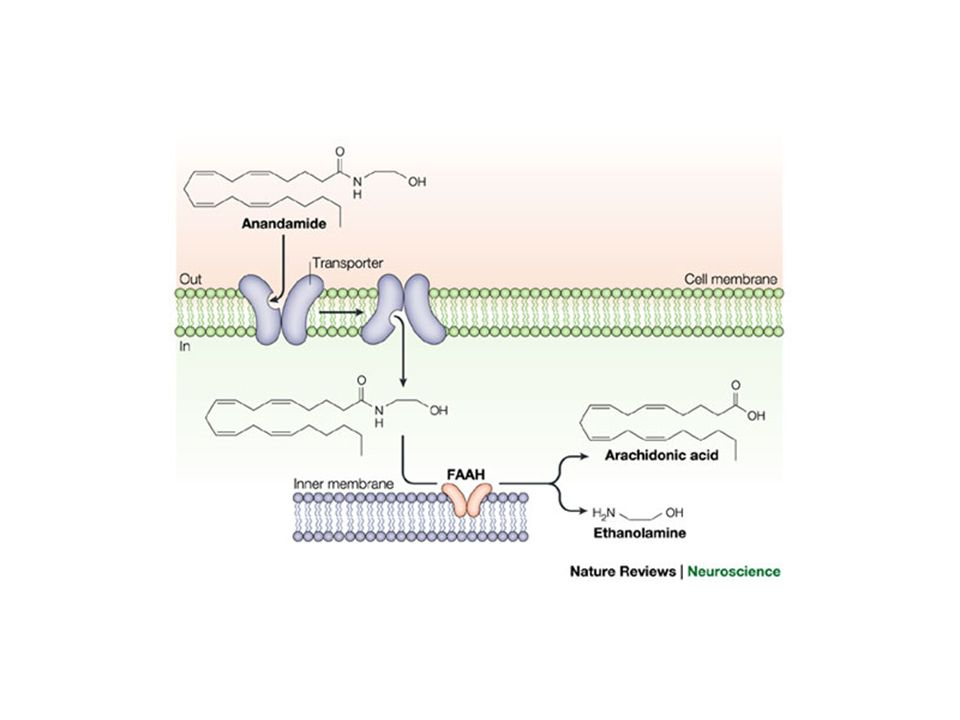 Mechanisms of endocannabinoid deactivation in neurons