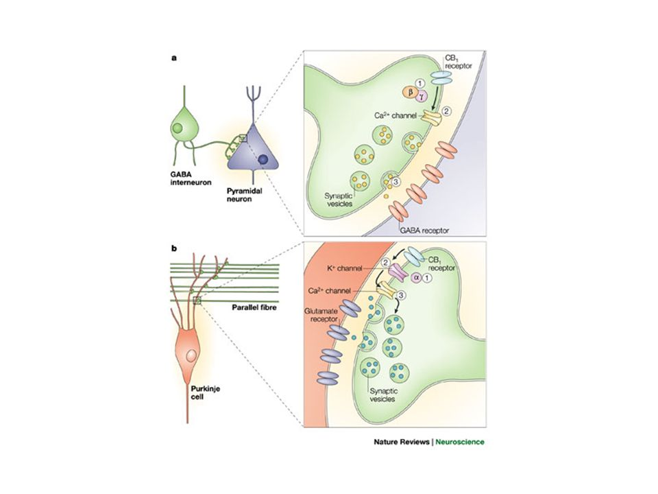 Regulation of presynaptic ion channel activities by CB1 cannabinoid receptors.
