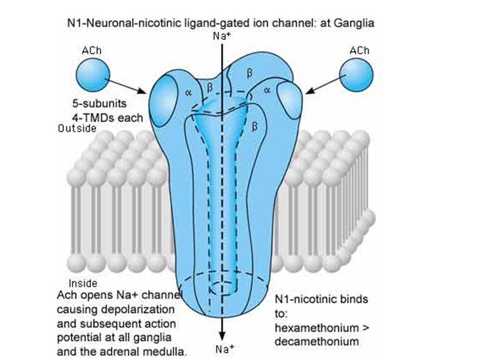 Schematic diagram of the N1-nicotinic (neuronal/ganglionic) ligand-gated ion channel receptor.. The receptor is composed of five subunits, each with four transmembrane spanning elements. The large extracellular N-terminal region forms the binding sites for acetylcholine (Ach) and other nicotinic agonists and antagonists. Binding of two Ach molecules causes a rapid (ms) opening of the sodium channel. Na+ flows down its concentration gradient into the cell causing depolarization and an exitatory postsynaptic potential (EPSP). This can lead to an action potential and propagation of the exitatory signal by firing of the postsynaptic connection. N1-nicotinic receptors are found in both sympathetic and parasympathetic autonomic ganglia and in the adrenal medulla. N2-nicotinic receptors act in a similar fashion but are found at the neuromuscular junction of skeletal muscle. N1-nicotinic receptors cause depolarization of ganglia in the following manner: