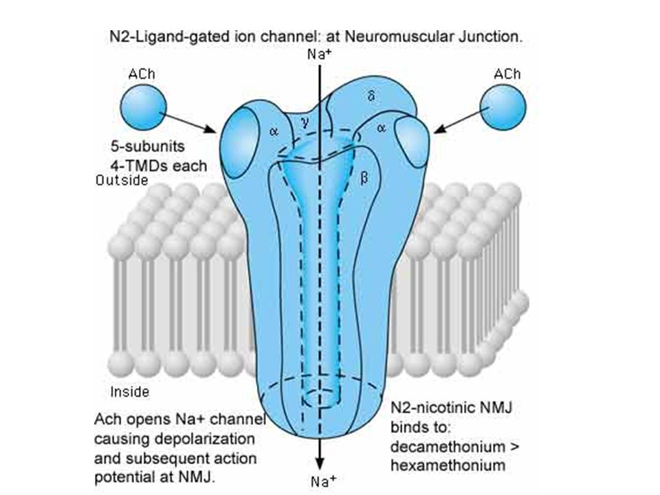 Schematic diagram of the N2-nicotinic (neuronal/ganglionic) ligand-gated ion channel receptor..