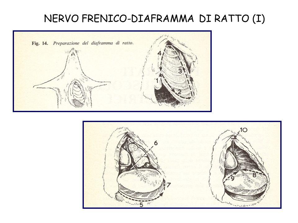 NERVO FRENICO-DIAFRAMMA DI RATTO (I)