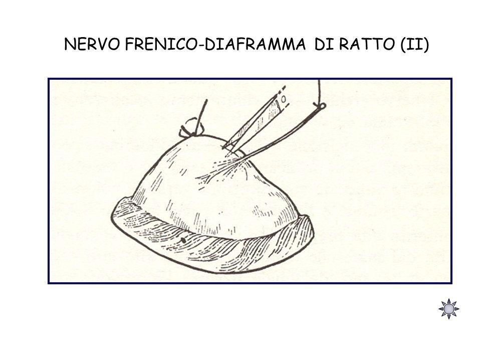 NERVO FRENICO-DIAFRAMMA DI RATTO (II)