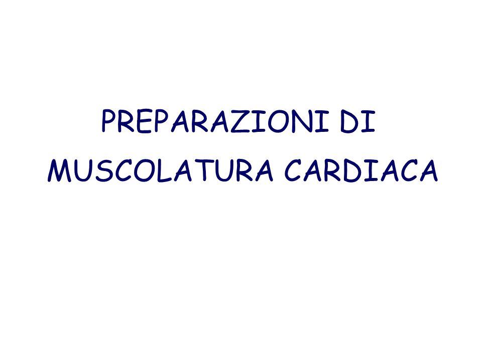 PREPARAZIONI DI MUSCOLATURA CARDIACA
