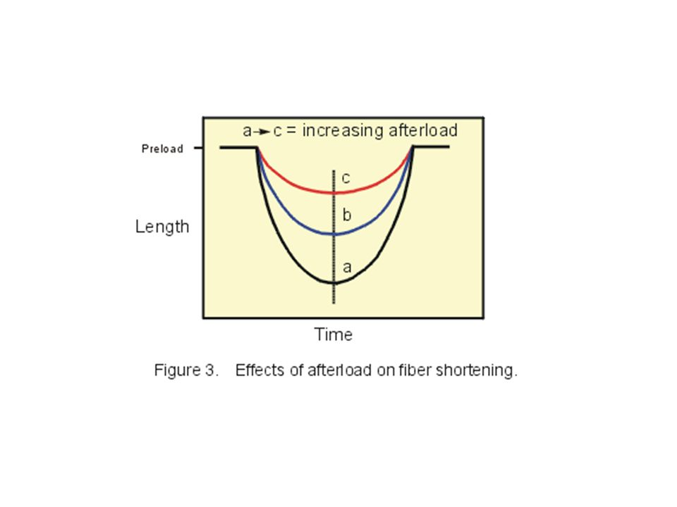 If this same experiment with the papillary muscle is repeated with increasing loads (shift from curves a to c), there will be a decrease in both the velocity of fiber shortening and in the degree of shortening as shown in Figure 3.