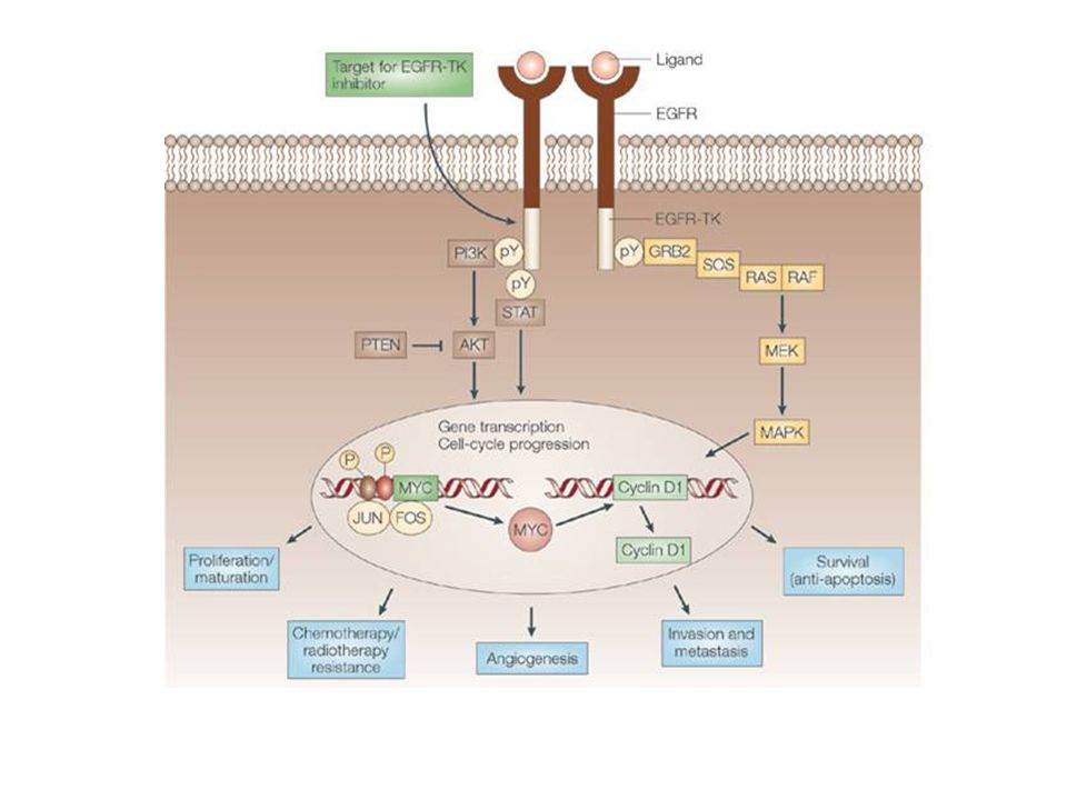 The epidermal growth factor receptor signalling pathway