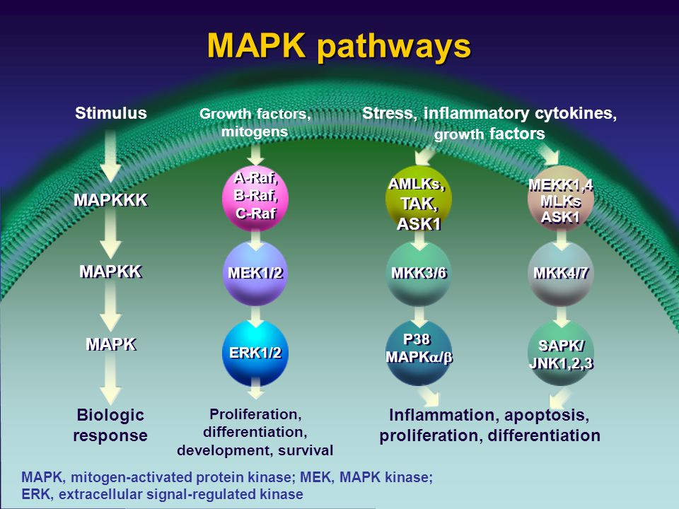 MAPK pathways Stimulus