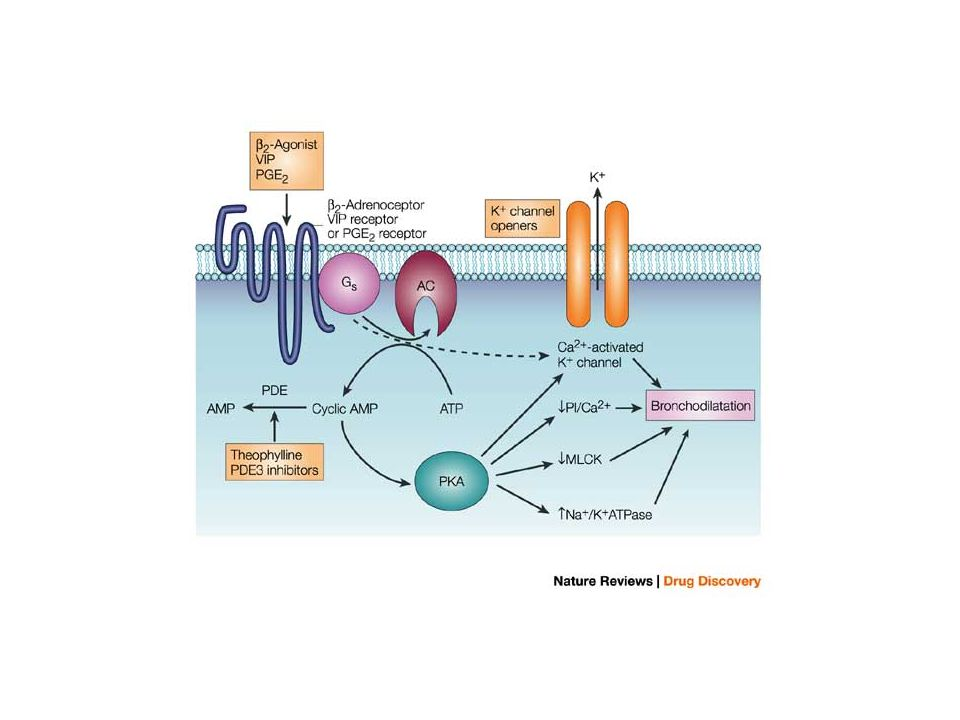 Molecular mechanisms of action of bronchodilators
