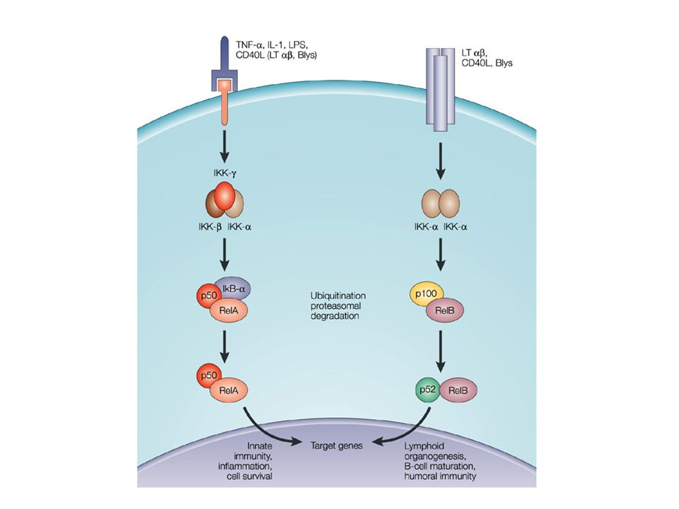 Figure 2 | Schematic representation of the two NF-κB signalling pathways. The classical