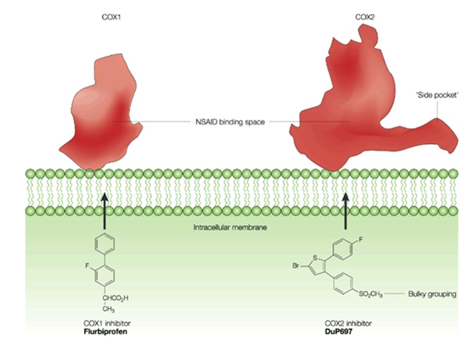 Comparison of the NSAID binding sites of COX1 and COX2 after Browner