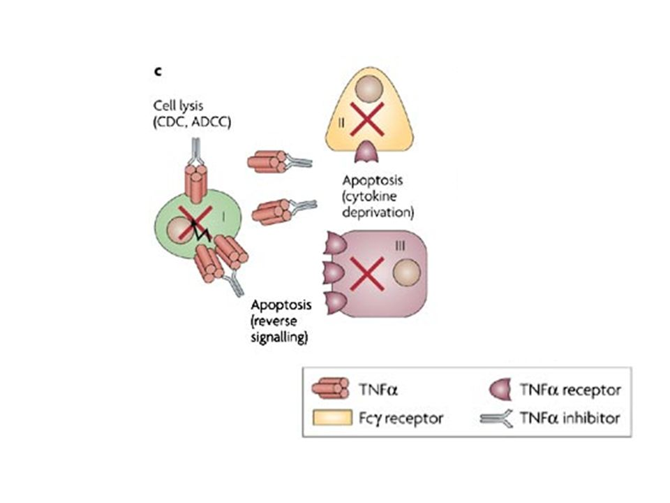 c | Inhibition of TNF results in cell death, either through cytokine deprivation (cells II and III); through antibody-facilitated cell death (complement-mediated cytotoxicity (CDC) or antibody dependent cell-mediated cytotoxicity (ADCC)); or through reverse signalling. Both of the latter mechanisms affect cells expressing membrane TNF.