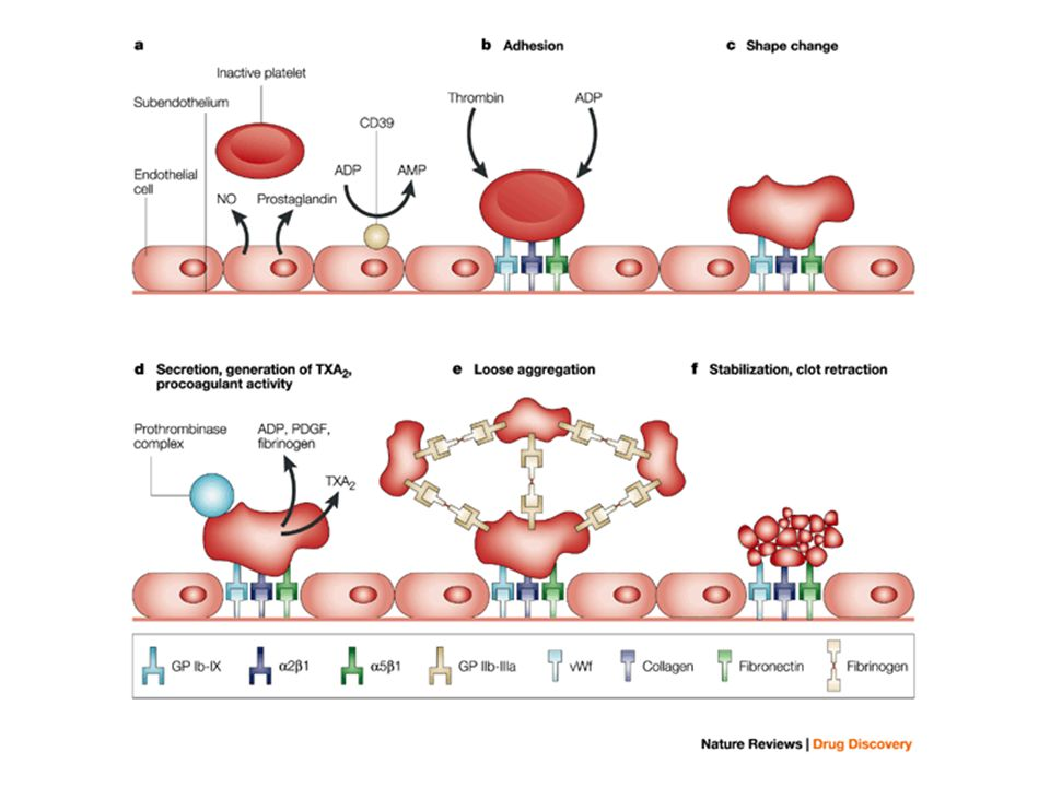 The role of platelets in thrombus formation