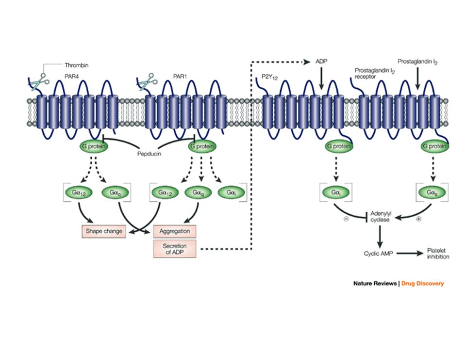 The connection between G-protein-coupled protease-activated receptors and ADP.