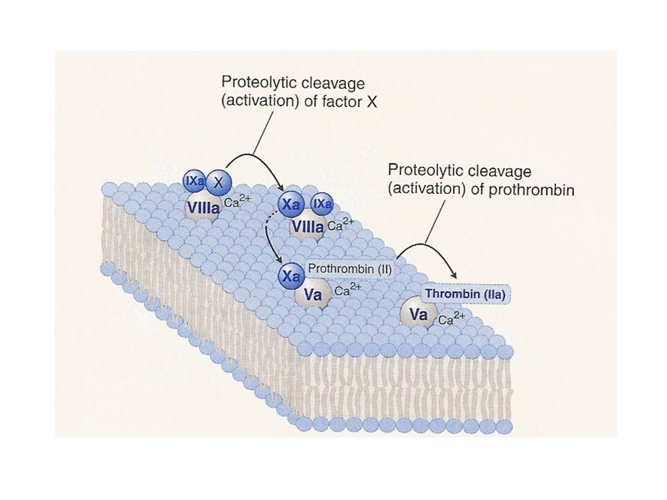 Coagulation factor activation on phospholipid surfaces