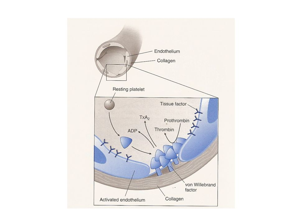 Platelet activation.