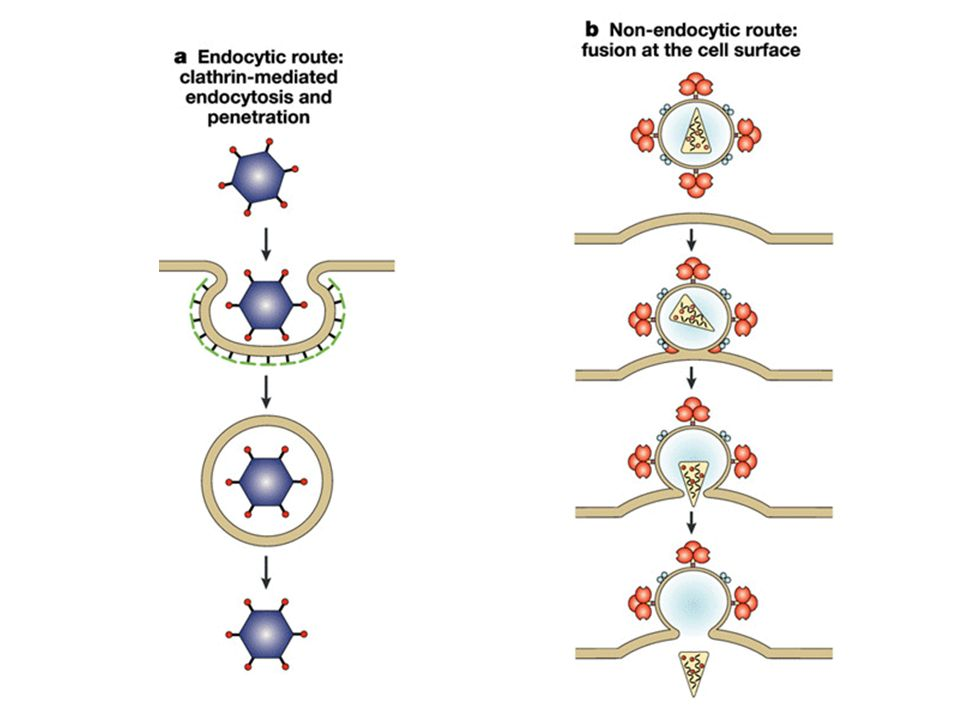 Clathrin-mediated endocytosis, for example, adenovirus