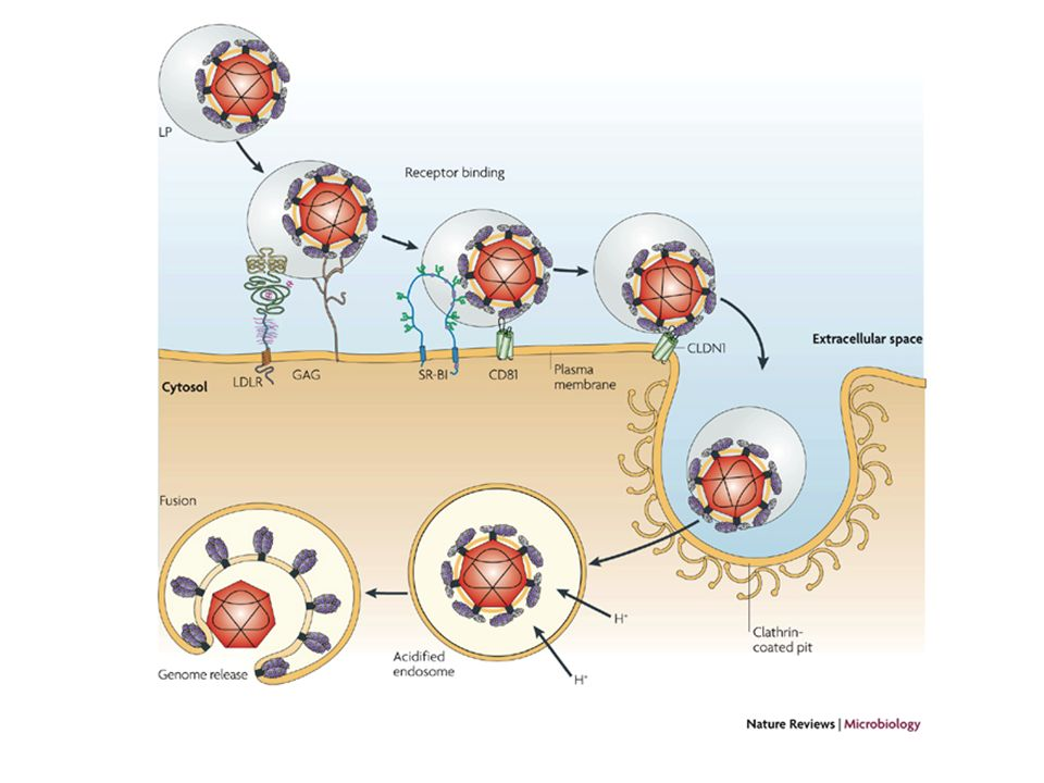 Circulating HCV particles can be associated with low- and very-low-density lipoproteins (LP).